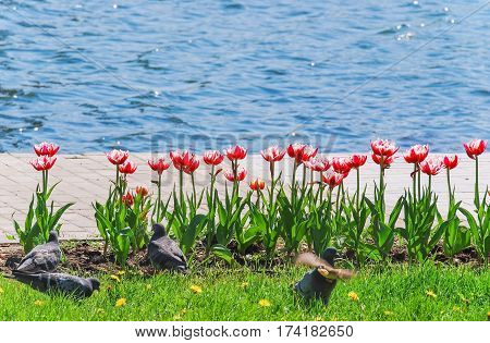 Terry white and red tulips near the pond on the background of water