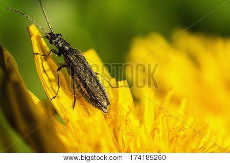Black beetle sitting on a yellow flower. Macro photo. Dandelion