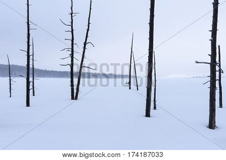 Bare Trees in Snowy Winter Landscape - Yellowstone National Park