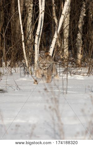 Canadian Lynx (Lynx canadensis) Stalks Out of Treeline - captive animal