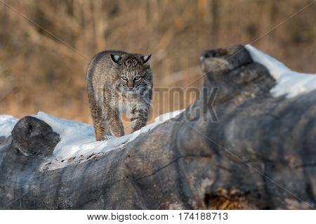 Bobcat (Lynx rufus) Walks Foward on Log - captive animal
