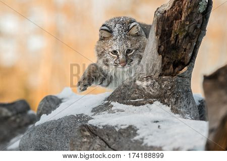 Bobcat (Lynx rufus) Paw Up on Log - captive animal