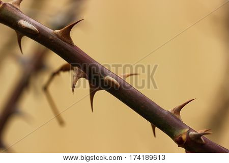 A branch of a rose with thorns closeup. Approximation of spring.