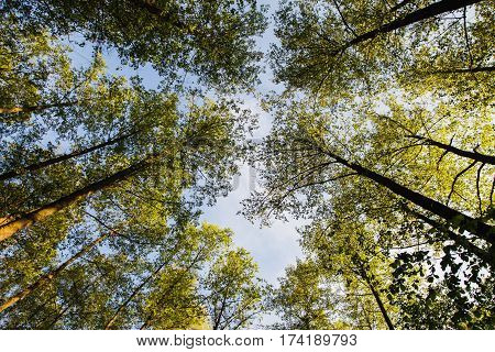Tree tops are illuminated by the setting sun. Summer time tree. Dark forest. Clear sky and green tree. Tree top view