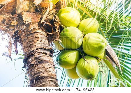 Green Coconut fruit on coconut tree .