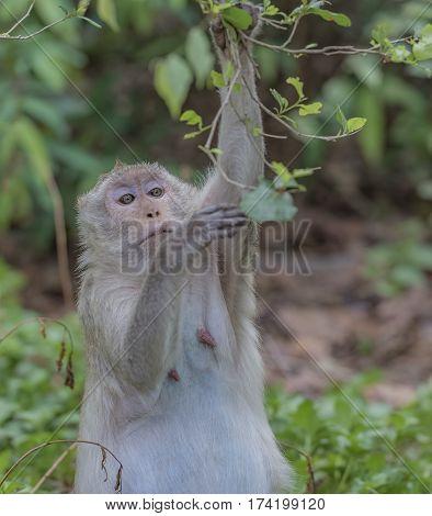 Monkey pregnant in public park ,brown Monkey.