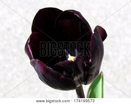 Black tulip flower in Toronto Canada