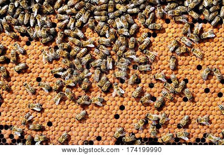 Bees on honeycombs heated bee brood. Apiculture