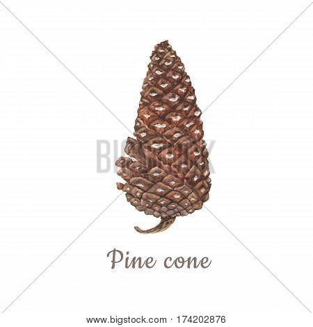 Botanical watercolor illustration of pinecone on white background.