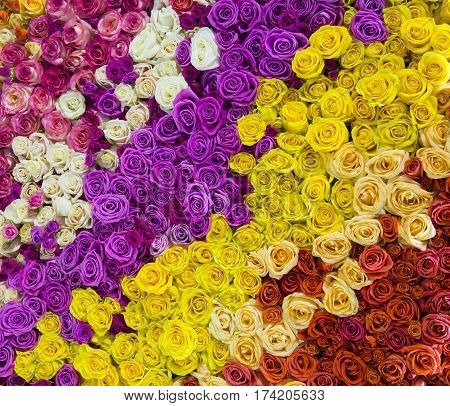 Flower background of fresh roses of different colors