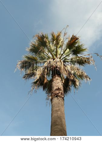 Palm tree seen at low angle against a blue sky