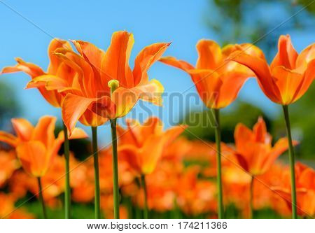 Beautiful bright orange tulips and blury blue sky. Spring floral background. Tulips close up in natural background