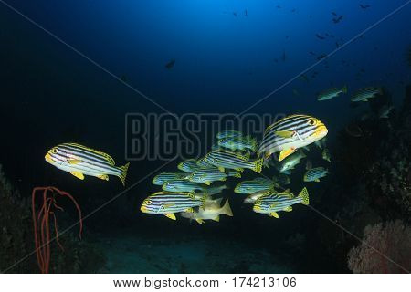 Oriental Sweetlips fish school