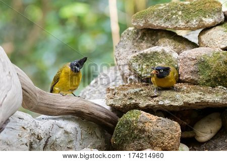 Couple of Black-crested bulbul bird in black yellow on stones with one screaming, summer in Thailand, Asia. (Pycnonotus flaviventris)