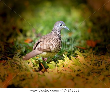 Photo macro turtledoves south on the background of green grass