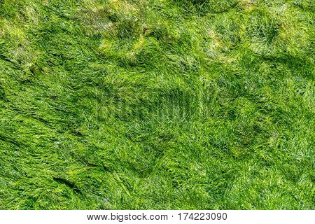 Green background of algae seaweed. Stone with bright seaweed closeup. Natural velvet texture of sea grass. Sea plant close image. Seaside rock texture. Coastal pebble during low tide. Beautiful weed
