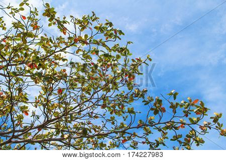 Tree branch on blue sky background. Autumn red and green leaf. Blue cloudy sky view through natural ornament. Tree branch silhouette. Colorful picture of park greenery. Green tree summer mood image