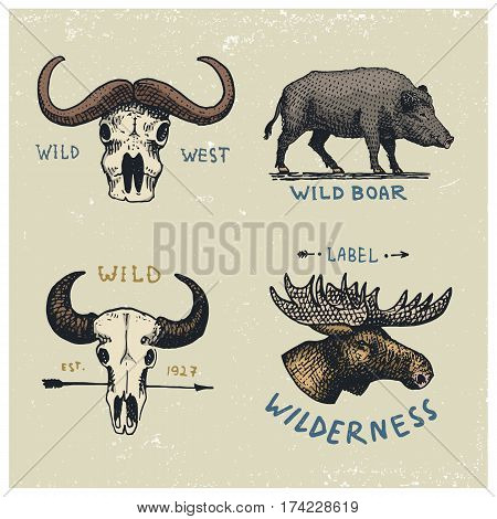 set of engraved vintage, hand drawn, old, labels or badges for camping, hiking, hunting with buffalo skulls, wild boar or pig and moose, elk face