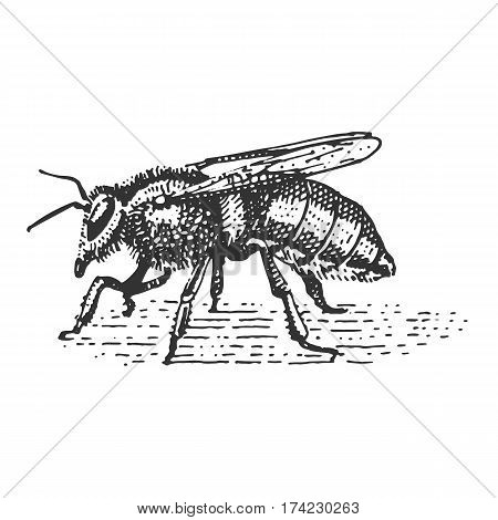 beetle, insect species isolated engraved, hand drawn animal in vintage style old bee