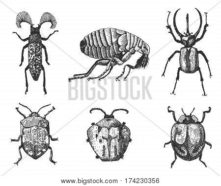 big set of insects bugs beetles and bees, fleas many species in vintage old hand drawn style engraved illustration woodcut animals flea