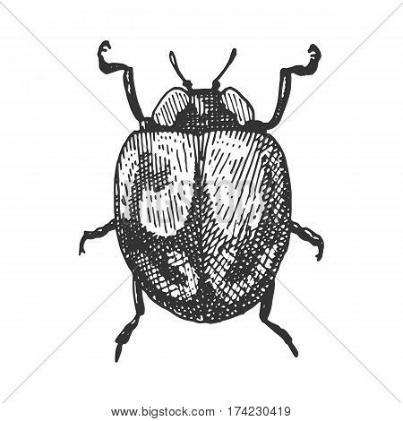 beetle, insect species isolated engraved, hand drawn animal in vintage style old