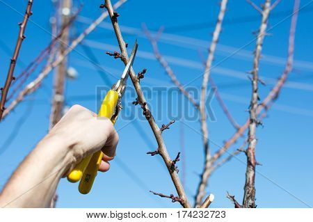 Male Hand Pruning Fruit Before Start Of Spring