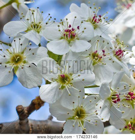 Cherry Blossom Splendor Yoshino Cherry Tree Japanese Prunus Yedoensis