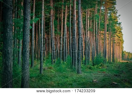 Pine forest with felled tree stumps in Latvia