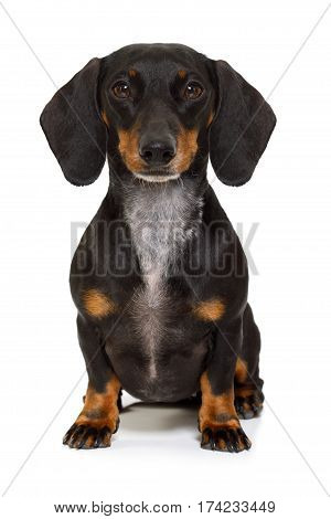 Sitting Dachshund Or Sausage Dog