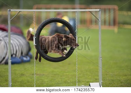 Red Border Collie jumping through agility hoop. He is successful and ready for the next command. Dog is well trained and very competitive.