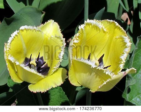 Yellow fringed tulip flower in garden in Toronto Canada