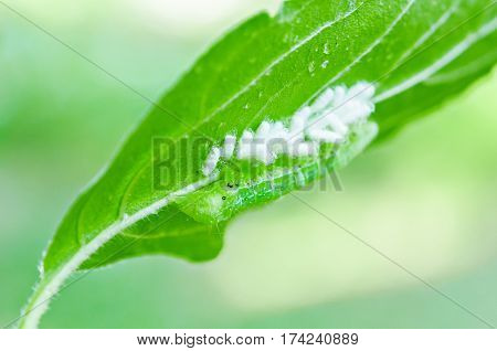 Green worm spawning on green leaf in nature.