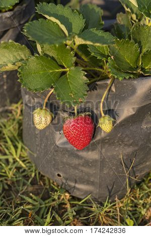 Strawberry Plant Growing in Black Plastic Bag. (Selective Focus)