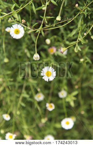 Chamomile flowers on a field. (Selective Focus)