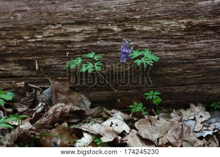 In wood among the fallen down dry foliage, near to a trunk of the fallen oak has grown and the modest corydalis has blossomed.