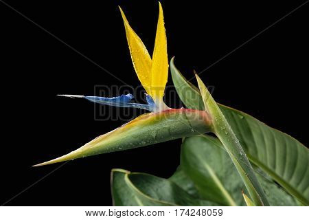 stunning single flower of bird of paradise with leaves on a black background