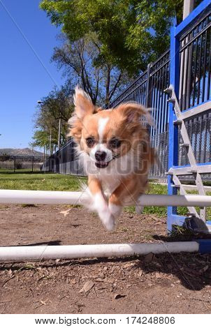 a small reddish and white dog jump over two rails looking happily at the camera