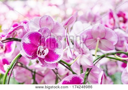 Close up selected focus multicolor beautiful tropical orchid flower as flora in the garden.
