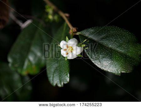 Flower of Carmona retusa Isolated on Background