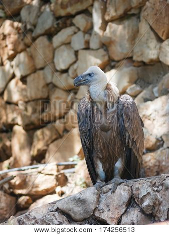 Griffon Vulture - Gyps fulvus - is sitting on a rock and looking out for prey