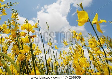 yellow Gorse and blue sky in spring seasonal background