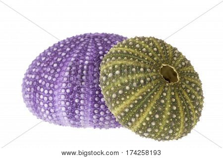 Sea shells of violet and green sea urchin ( Echinoidea) isolated on white background.