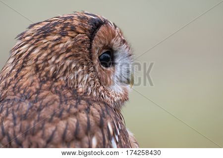 Very close profile portrait of a tawny  brown owl looking to the right