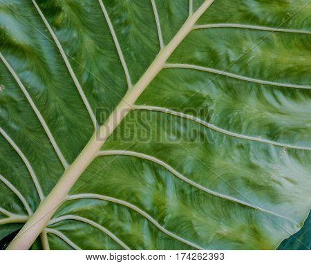 Macro Of Taro Leaf