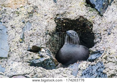 Black Guillemot waiting in a whole of a wall in Oban, Scotland