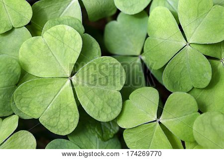 Leaves of common wood sorrel - Oxalis acetosella .