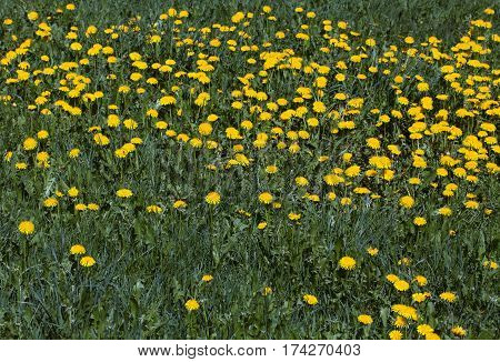 Field of yellow dandelion flowers in the spring