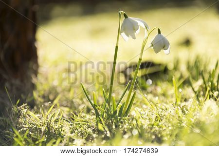 Two snowflakes in sun light. Golden green grass full sun. First flower in spring.