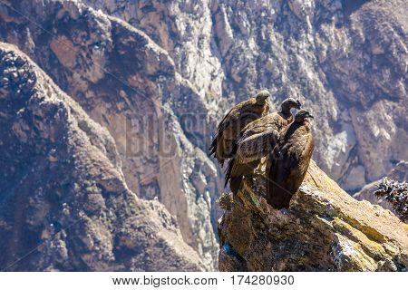 Three Condors at Colca canyon sittingPeruSouth America. This is a condor the biggest flying bird on earth