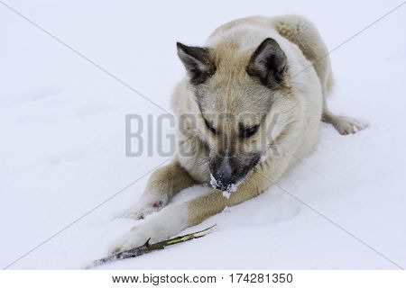 Street Hungry Dog Gnawing On A Branch Lying
